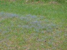 Beautiful blue wildflowers