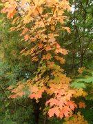 Beautiful maples!