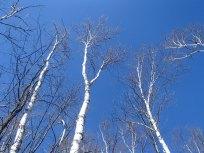 Whites Birches - Blue Skies